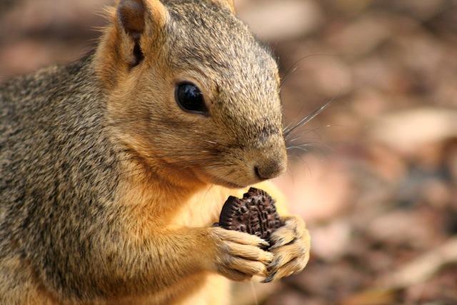 Oreo Squirrel