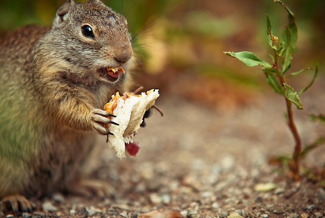 Squirrel Loves PB & J