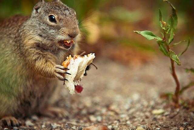 Squirrel Loves PB & J